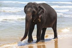 Elefante indiano sulla spiaggia Fotografie Stock Libere da Diritti