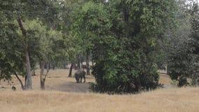 Elefante indio en el bosque en el parque nacional, la India metrajes