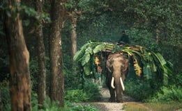 Elefante indio en la selva Fotos de archivo libres de regalías