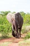 Elefante irritado que anda ao longo da estrada Fotografia de Stock Royalty Free