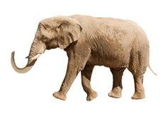 Elefante isolado no branco Fotografia de Stock Royalty Free