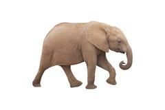 Elefante isolado no fundo branco Foto de Stock Royalty Free