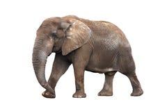 Elefante isolato su bianco Immagini Stock Libere da Diritti