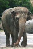 Elefante joven Fotos de archivo libres de regalías