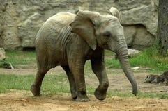 Elefante joven Imagenes de archivo