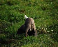 Elefante joven Imágenes de archivo libres de regalías