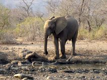 Elefante joven Fotos de archivo