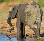 Elefante joven con la rama Imagen de archivo
