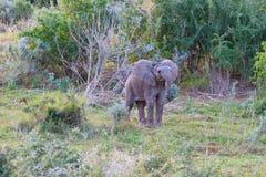 Elefante joven de Suráfrica Fotos de archivo
