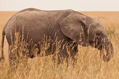 Elefante joven en Kenia Fotos de archivo