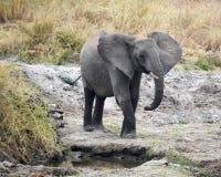 Elefante joven que coloca 3/4 visión Imagenes de archivo