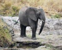 Elefante joven que coloca 3/4 visión Fotografía de archivo