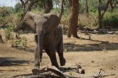 Elefante joven que nos amenaza Imagen de archivo