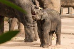 Elefante juguetón del bebé Imagen de archivo libre de regalías