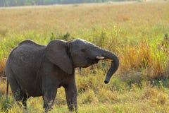 Elefante juvenil rebelde Imagen de archivo libre de regalías