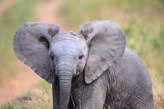 Elefante lindo del bebé que camina a través de un campo en el parque nacional de Kruger imagen de archivo libre de regalías