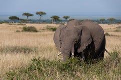 Elefante in Masai Mara fotografia stock