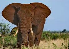 Elefante maschio Fotografie Stock Libere da Diritti