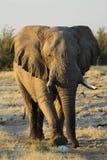 Elefante maschio che cammina nella direzione dell'automobile Parco nazionale di Etosha Fotografie Stock