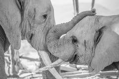 Elefante maschio giovane con il maschio più anziano del toro Fotografia Stock