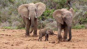 Elefante maschio scontroso che colpisce bambino video d archivio