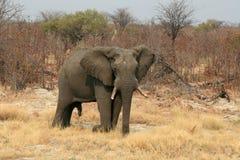 Elefante masculino Foto de Stock Royalty Free