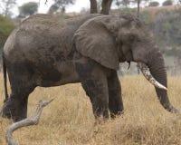 Elefante masculino Imagem de Stock