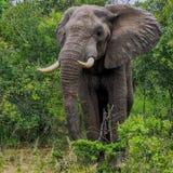 Elefante masculino Imagens de Stock
