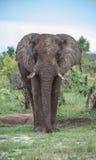 Elefante masculino, colocándose solamente. Imagen de archivo