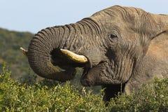 Elefante masculino grande que alimenta en arbustos y arbustos fotos de archivo libres de regalías