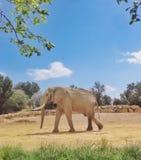 Elefante masculino na reserva africana de Sigean imagens de stock