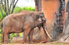 Elefante masculino que camina en parque zoológico Foto de archivo libre de regalías