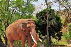 Elefante masculino que come mientras que camina en parque zoológico Fotos de archivo