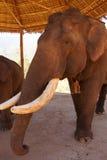 Elefante masculino viejo con los colmillos grandes Imagen de archivo