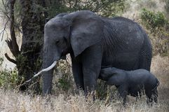 Elefante minúsculo del bebé que alimenta desde su madre foto de archivo libre de regalías
