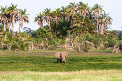 Elefante molto grande nella palude Amboseli, Kenya Fotografia Stock