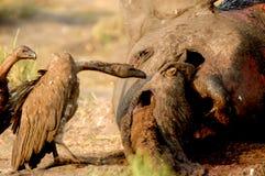 Elefante muerto Imagen de archivo libre de regalías