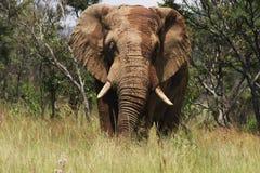Elefante in muschio fotografia stock