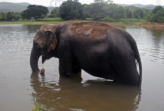 Elefante na água Imagens de Stock Royalty Free