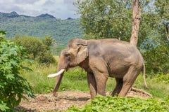 Elefante na floresta úmida de Tailândia imagens de stock royalty free