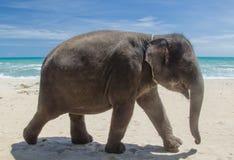 Elefante na praia Fotografia de Stock Royalty Free