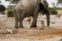 Elefante na vigia para leões Foto de Stock Royalty Free