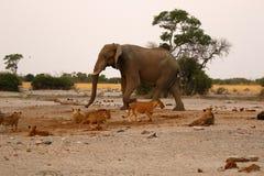 Elefante na vigia para leões Fotos de Stock