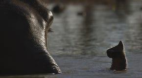 Elefante nacional que se baña en Nepal Imagen de archivo libre de regalías