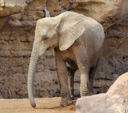 Elefante nel biopark di Valencia, Spagna Fotografia Stock Libera da Diritti