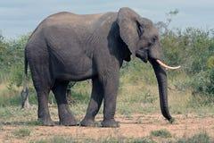 Elefante nel Bush Fotografia Stock Libera da Diritti