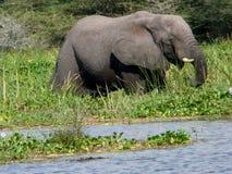 Elefante nel fiume Port Victoria Nilo immagini stock libere da diritti