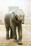 Elefante nel giardino zoologico Fotografie Stock