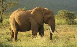 Elefante nel Kenia Fotografie Stock