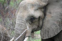 Elefante nel musth Immagini Stock